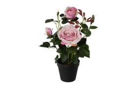 Rosenstock in rosa, 43 cm