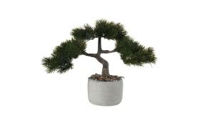 Bonsai-Kiefer pinus mugo
