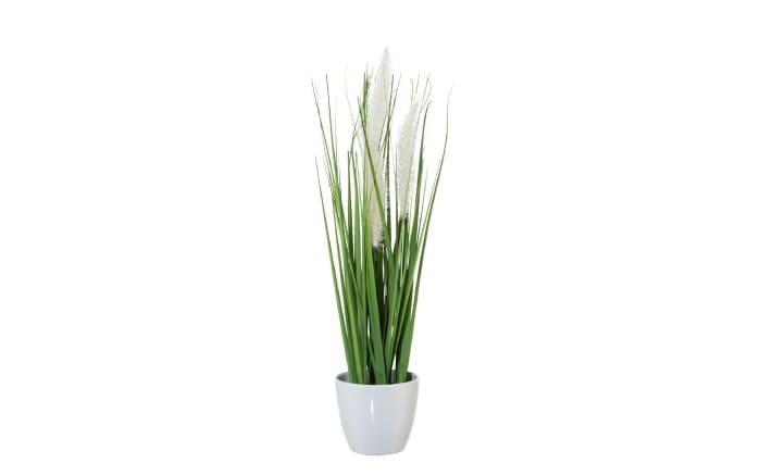 Penisetum mit Kletten im Topf, weiß