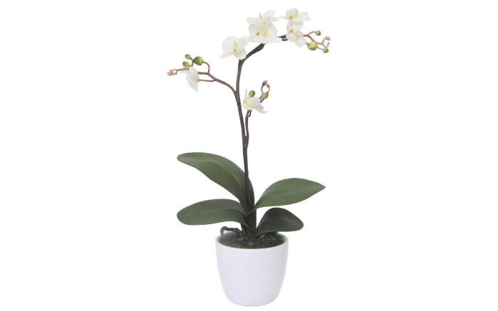 Phalaenopsis Cassandra in creme, 55 cm